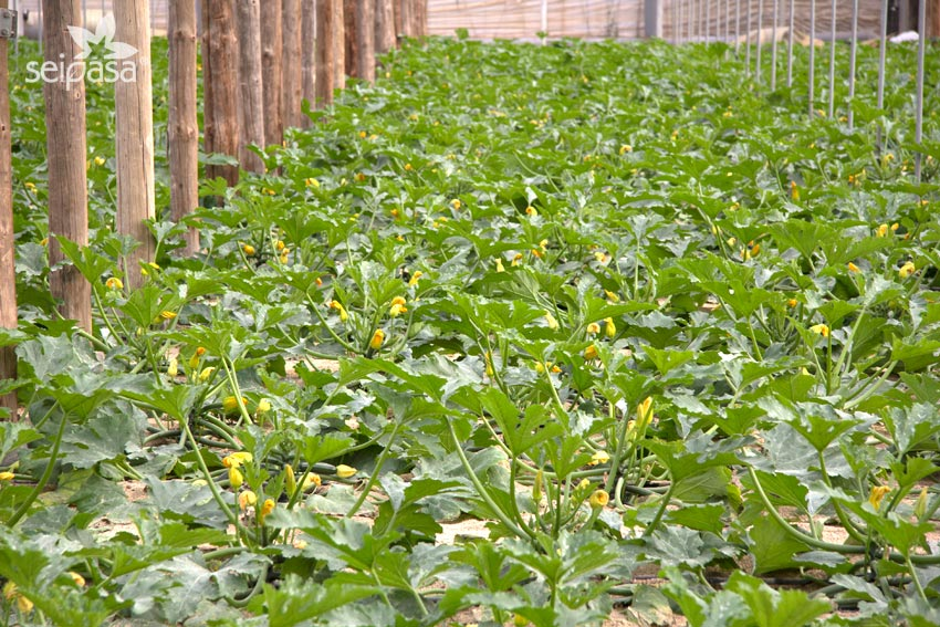 Biostimulants for the zucchini setting (setting products