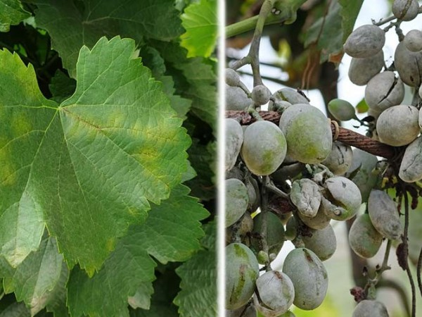 How to combat powdery mildew and downy mildew of the grapevine