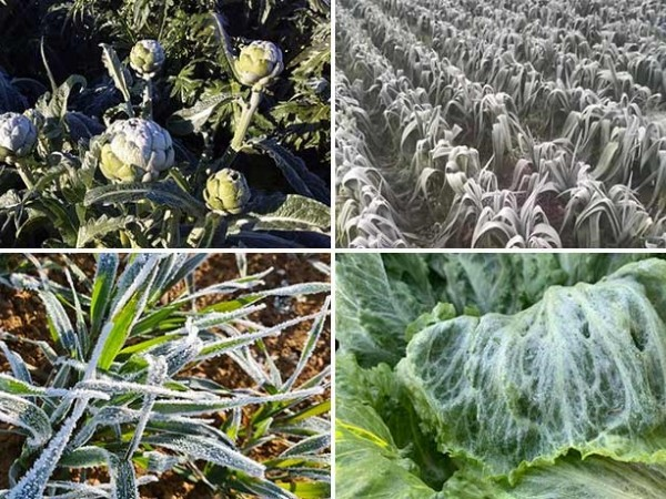 Plant stress: how to prevent damages in cold conditions